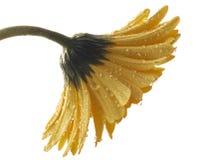 Żółty gerber zdjęcie stock