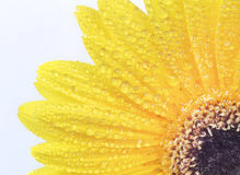 Żółty Gerbera kwiat Fotografia Royalty Free