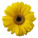 Żółty gerbera kwiat odizolowywający na białym tle Zdjęcia Stock