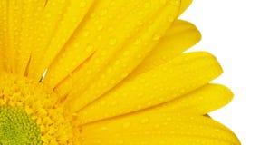 Żółty gerbera na bielu zdjęcie royalty free