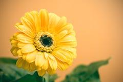 Żółty Gerbera z zielenią opuszcza na pomarańczowym tle Zdjęcia Royalty Free