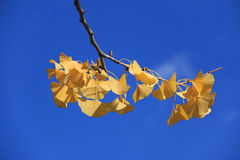 Żółty Ginkgo liść, niebieskie niebo i Zdjęcie Stock
