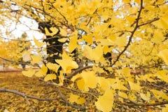 Żółty ginko obrazy stock
