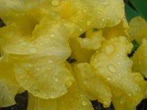 Żółty gladiolus Obraz Stock