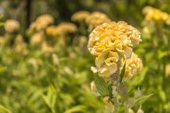 Żółty grzebionatka kwiatu ogród Obraz Royalty Free