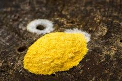 Żółty grzyb na drzewnym fiszorku Fotografia Royalty Free