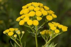 Żółty guzika kwiat zdjęcie stock