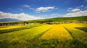Żółty gwałt kwitnie w dolinie kwiaty obraz stock