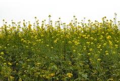 Żółty gwałt na polu Zdjęcie Royalty Free