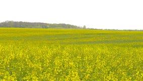 Żółty gwałta pole po deszczu zbiory