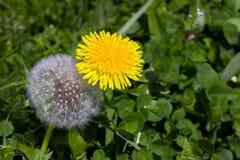Żółty i biały dandelion kwitnie wpólnie młodego i starego concep Obrazy Royalty Free