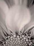 Żółty i Biały kwiat w B&W Zdjęcia Stock