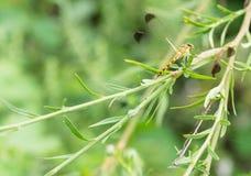 Żółty i czarny dragonfly obsiadanie na s gałąź Obraz Royalty Free