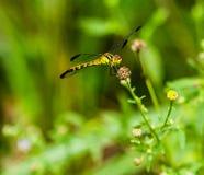 Żółty i czarny dragonfly obsiadanie na s gałąź Zdjęcia Stock