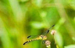 Żółty i czarny dragonfly obsiadanie na s gałąź Zdjęcia Royalty Free