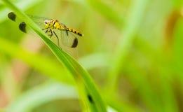 Żółty i czarny dragonfly obsiadanie na s gałąź Obrazy Royalty Free