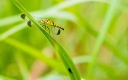 Żółty i czarny dragonfly obsiadanie na s gałąź Fotografia Royalty Free
