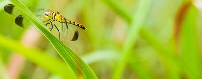 Żółty i czarny dragonfly obsiadanie na s gałąź Zdjęcie Royalty Free