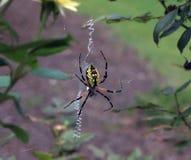 Żółty i czarny ogrodowy pająk obraz royalty free