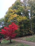 Żółty i czerwony drzewo Zdjęcie Stock