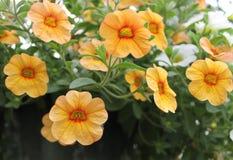 Żółty i Pomarańczowy Calibrachoa Zdjęcia Royalty Free