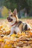 Żółty i szary męski crossbreed pies w czerwonym kołnierzu Fotografia Royalty Free