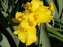 Żółty irys Zdjęcie Royalty Free