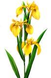 Żółty irys, Obrazy Stock