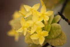 Żółty Ixora Fotografia Stock