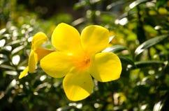 Żółty jaskieru allamanda kwiatu okwitnięcie obrazy stock