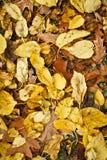 Żółty jesień liść 3 Zdjęcia Royalty Free
