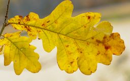 Żółty jesień liścia dąb Obraz Stock