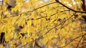Żółty jesieni ulistnienie zbiory