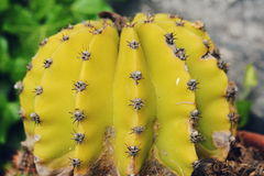 Żółty kaktus Zdjęcia Stock