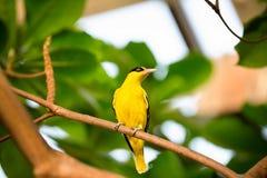 Żółty kanarek na gałąź Zdjęcia Royalty Free