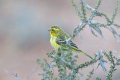 Żółty kanarek w naturalnym położeniu Zdjęcie Royalty Free