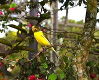 Żółty kanarowy ptak umieszczający na gałąź Zdjęcia Stock