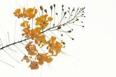 Żółty karzeł Poinciana jest pięknym kwiatem Obraz Stock