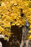 Żółty klonowy drzewo Zdjęcie Royalty Free