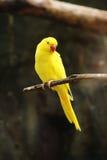 Żółty kolor Upierścieniony parakeet Zdjęcia Royalty Free