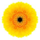 Żółty Koncentryczny Gerbera kwiat Odizolowywający na bielu. Mandala projekt Fotografia Stock