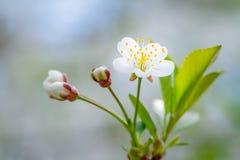 Żółty kornaliny wiśni kwiat Fotografia Royalty Free