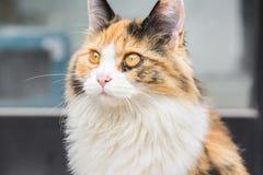 Żółty kot Obraz Royalty Free