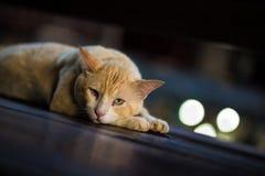 Żółty kot Fotografia Royalty Free