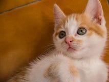 Żółty kota Nulla luctus felis Zdjęcia Royalty Free