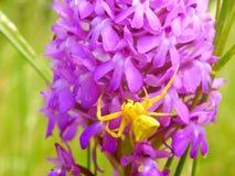 Żółty kraba pająk (Misumena vatia) Obraz Royalty Free