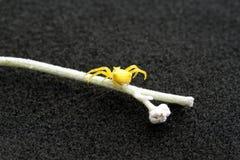 Żółty kraba pająk wiruje nikłą nić zdjęcia stock