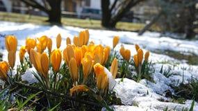 Żółty krokusa śnieg Europe Zdjęcie Royalty Free