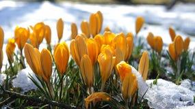 Żółty krokusa śnieg Europe Obraz Royalty Free