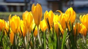 Żółty krokusa Europe zbliżenie Fotografia Stock